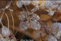 DRY FLOWERS / see the beauty of dry hydrangea flowers..looks like the delicate lace