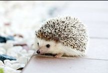 Hedgehogs c: / by Heidi Schaper