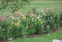 Dahlias / Beautiful New England dahlias! / by Salem Cross Inn