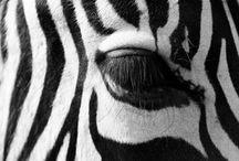 Zebras   Seeprat