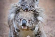 Koalas   Koalat
