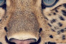 Lions,Cheetahs and Tigers   Leijonat,Gepardit ja Tiikerit