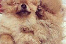 Pomeranian / Pomeranians