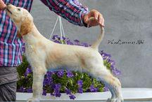 Afghan hound puppies / Khau Carreras afghans www.khaucarreras.com