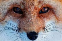 Foxes / Beautiful Photography Of Foxes