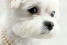 Lily Bark, My Storybook Maltese / My New York City apartment doesn't allow pets, so I created a virtual puppy named Lily Bark, after Edith Wharton's heroine.