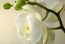 Ornamental Orchids / Beautiful Orchids in single stem or within a bouquet.