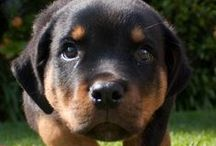 Rottweilers / by eclectic cottage