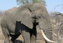 Simbavati Wildlife / View over 40 mammal species including the Big 5 (lion, leopard, buffalo, elephant and rhino), over 360 bird species and a chance to see the white lion in its natural habitat when you visit Simbavati River Lodge
