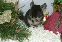Les Chinchillas Black-Velvet / Voici quelques photos de nos chinchilla Black-Velvet nés à l'élevage