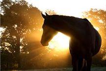 Koně    (Horse)