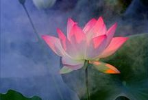 Lotus Eater / ...and a few waterlilies too... No pin limits from my boards but I appreciate follows :)