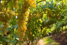 """Our """"Gold"""": Garganega Grapes / Garganega is the most important white grape in the provinces of Verona and Vicenza, the variety that dominates the hills of Soave Doc. It has a small asset of aromas as bitter almond and white flowers; it has a very long biological development, so it matures in October and it has a tough and yellow skin (almost red) when it ripes."""