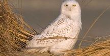 Owls / Beautiful Owl Photos and Info About Owls