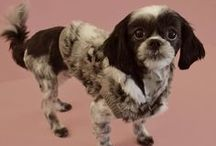 Shih Tzus / This is a collection of adorable pictures of Shih Tzu dogs.  Some come from www.fetchdogfashions.com.  The rest are repins of pictures found throughout Pinterest.  #puppy #dog #dogclothing #dogfashion #fashion #design #designer #smallbusiness #entrepreneur #smalldogs #shihtzu #tzu #shihtzudogs