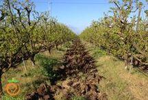 Coltivazione kaki - Persimmon cultivar - / Coltiviamo e distribuiamo 2 varietà di kaki (loti) a Sessa Aurunca in provincia di Caserta:  - KAKI TIPO (Vaniglia e a polpa morbida)  - KAKI ROJO BRILLANTE Le fotografie delle nostre coltivazioni. #PERSIMMON #KAKI #CACHI
