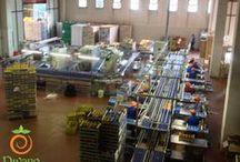 Lavorazione kaki - Persimmon production / Il nostro stabilimento per la lavorazione dei kaki (cachi) è costituito da un capannone industriale con una superficie coperta di 2.000 mq. su un totale di 5.000 mq.