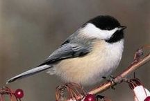 """Birds: Tiny cute """"belly"""" birds ;) / Wren, Fulvetta, Tit, Chickadee, Robin, Warbler, Sparrow, Flycatcher and many more / by Áhugamálin Mín"""