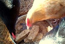 Backyard chooks / Tips for keeping a small flock