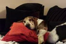 Basset Hound i przyjaciele / Chester, ukochany przyjaciel, którego pożegnaliśmy po 10 latach. Na zawsze pozostanie w moim sercu.  ❤️