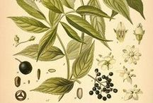 Materia Medica / Botanical plant drawings and info about how to use them!! / by Golden Poppy Herbal Apothecary