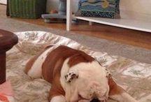 Bullies :3 / lovely English Bulldog photos