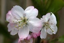 Pink Cherry Trees / Cherry trees with pink blossom that stay relatively small