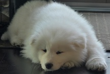 Ray / Ray my Samoyed puppy