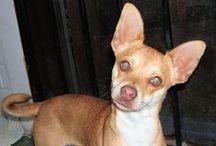 Chihuahuas Inc. / Chihuahuas at the C.A.R.E. Sanctuary