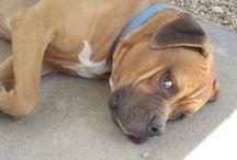 Biggish Doggies - Bruno