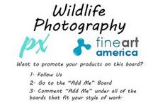 "Fine Art America: Wildlife Photography / This board is dedicated to photographers that sell their Wildlife and Animal photographs on FAA. Post any Animal or Wildlife Photography that you sell through Fine Art America. *Please post only ANIMALS AND WILDLIFE Photographs with your link to the FAA listing, we have other boards for other topics *Do not spam *Don't repeat posts *Post up to 5 items a day. Message me or contact us through pipafineart.com for an invite or visit our ""Add Me"" Board. You must follow us for all invites."