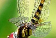 Dragonflies / Fragile Dragonflies.