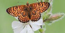 Butterflies / Beautiful Butterflies.