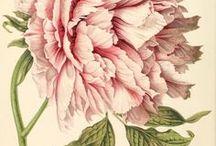 Botanicals / Beautiful Botanical Illustrations.