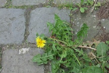 Urban foraging / Urban foraging: finding wild edible plants (edible weeds) in the city is perfectly possible!