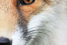 Foxes / Fox, Fuchs, renard, Vulpes vulpes...