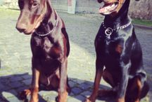 Dobermans / Black and brown