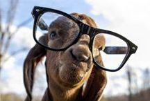 You Stubborn Goat!