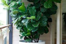 Inspiration | Indoor Plants / Let's be honest, this board is mostly dedicated to Fiddle Leaf Figs