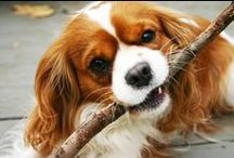 Cavalier King Charles Spaniels / 1000 Reasons why Cavaliers are way better than Boston Terriers or French Bulldogs...