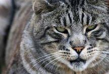 Суровые Коты / Очень суровые и мужественные коты.