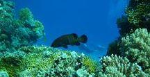Egypte, Les Brothers / Brothers Islands est un site de légende perdu au milieu de la Mer Rouge, conseillée aux amateurs de pélagiques et plus particulièrement de requins ; la vie abondante y attire de magnifiques spécimens.