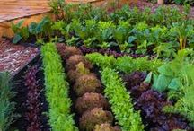 lettuce love / Growing lettuce is so easy! It's the best way to learn about caring for baby plants!
