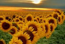 sunflower love / One of my favourite flowers!! Do you love sunflowers too?
