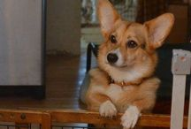 Corgis and other cute animals <3