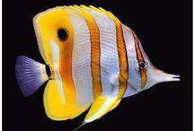 PECES / La belleza especial y colorido de los peces. Agradezco no bajar más de  5 pines por día.  Do not pin more than 5 pins per day.  Thanks