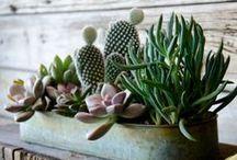 Architectual Succulents