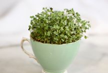 Micro greens / Growing micro greens in your home.