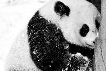 Panda Bears / by Autumn Allen