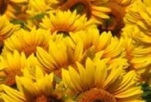 Sunflowers For My Sunshine / by Maxine Chapman